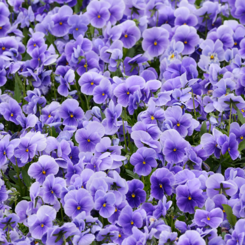 5 Amazing Violet Essential Oil Benefits and Uses